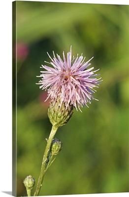 Saw-wort (Serratula tinctoria)