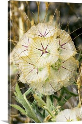Scabiosa seedhead