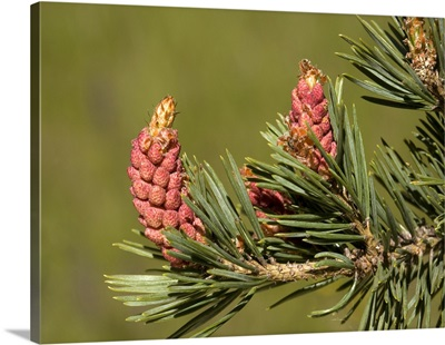 Scot's pine male flowers