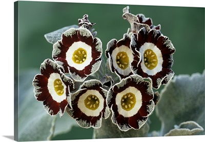 Show auricula 'Queen Bee' flowers