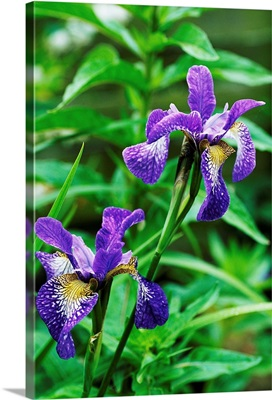 Siberian iris (Iris 'Nottingham Lace')