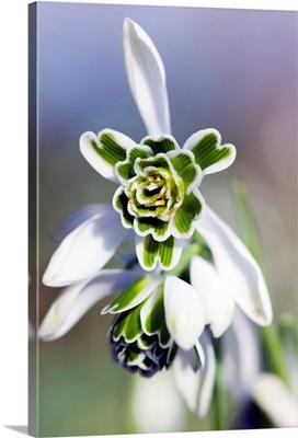 Snowdrop (Galanthus 'Titania')