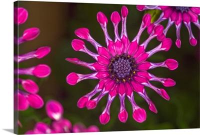Spoon daisies (Osteospermum 'Whirligig')