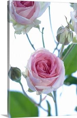 Spray rose (Rosa 'Mimi Eden')