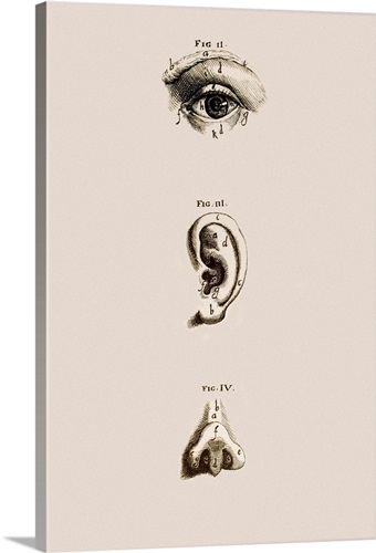 Surface Anatomy Of The Eye Ear And Nose Wall Art Canvas Prints