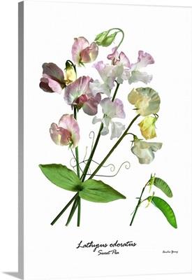 Sweet Pea (Lathyrus odorata)