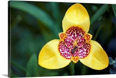 Tiger flower (Tigridia pavonia)