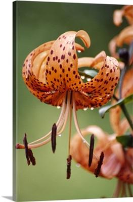Tiger lily flowers (Lilium tigrinum)