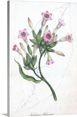 Tobacco flowers, historical artwork
