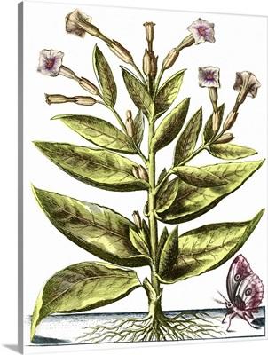 Tobacco plant, 17th century artwork