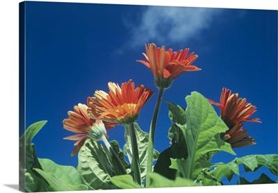 Transvaal daisies