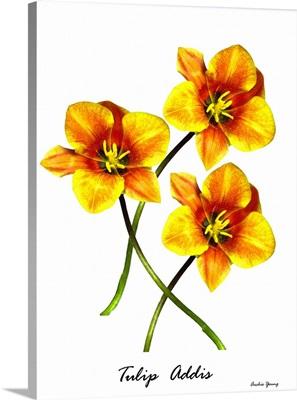 Tulip (Tulip 'Addis'), illustration