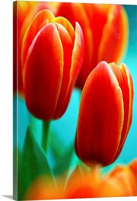 Tulip (Tulipa 'Apeldoorn Elite')