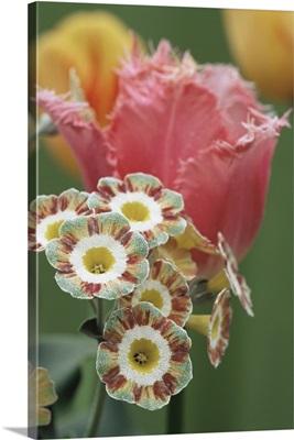 Tulip (Tulipa 'Fancy Frills')