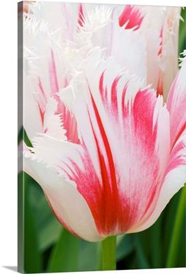 Tulipa 'Carousel'