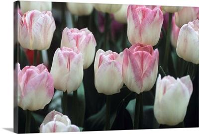 Tulipa 'Meissner Porzellan' flowers