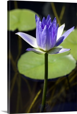 Water lily (Nymphaea sp.)