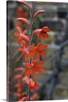 Watsonia 'Stanford Scarlet' flowers