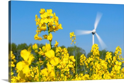 Wind turbine in a rape field