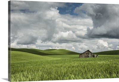 Abandoned old barn in the green wheat fields of the Palouse, Washington