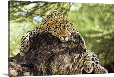 African Leopards Glare