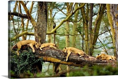 African Lion Cat Nap