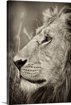 African Lion Majesty