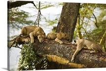 African Lions on Tree