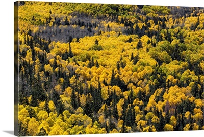 Aspen trees filled with color above Flagstaff, Arizona
