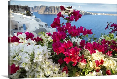 Bouganvillea on Oia, Santorini, Greece