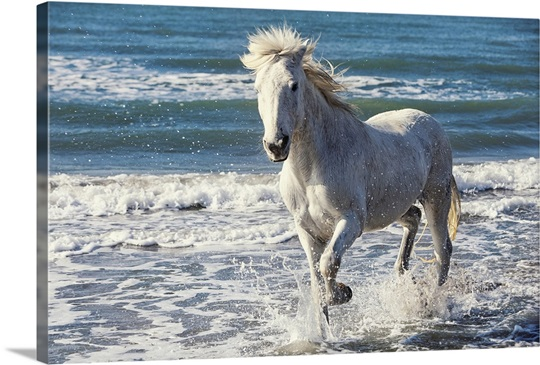 Camargue Horse running on the beach, South of France ... - photo#13