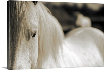 Camargue Horse, South of France