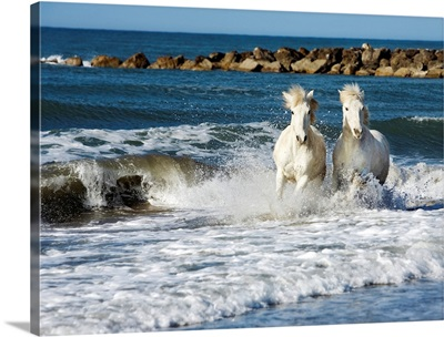 Camargue horses running in the ocean in the south of France