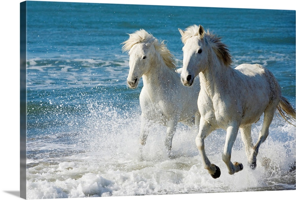 Camargue Horses running on the beach, South of France ... - photo#9