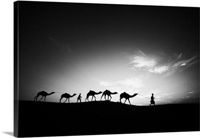 Camels and their trainers walking through the desert at sunset, Jaisalmer, India