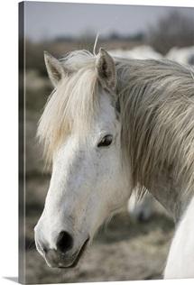 Close up of a Camargue horse, Arles, France
