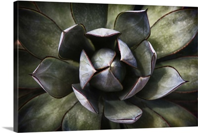 Close up of an Agave