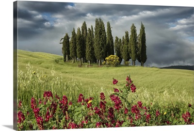 Cypress trees in the Tuscan countryside