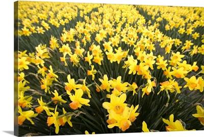 Daffodil fields, Amsterdam, Netherlands