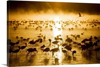 Flamingos in water at sunrise, Lake Nukuru, Kenya, Africa