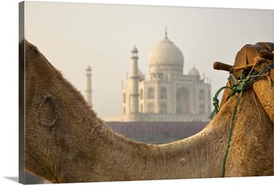 India Camel at the Taj