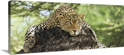 Leopard resting on a tree in the Masai Mara, Kenya