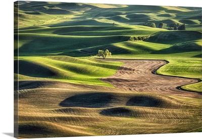 Lone Tree In The Rolling, Landscape, Wheat Fields Of The Palouse