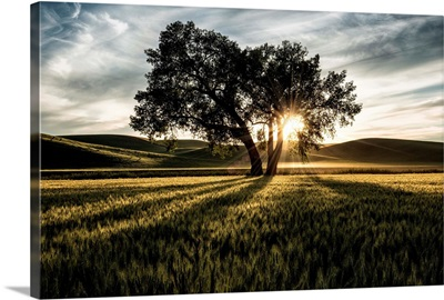 Lone tree with clouds at sunset in the Palouse, Washington