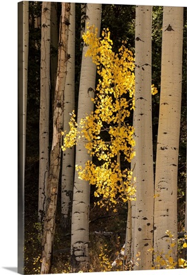 Lone yellow Aspen tree in the forest of Flagstaff, Arizona