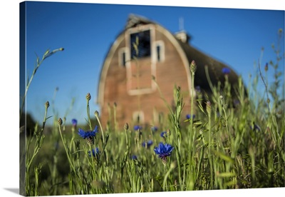 Old barn and blue flowers in the Palouse region of Washington St