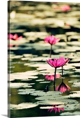 Pink water lillies at sunset in Mrauk, Burma