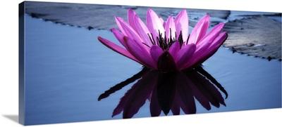 Pink water lily in Mrauk, Burma