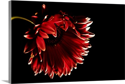 Red gerber daisy with black background