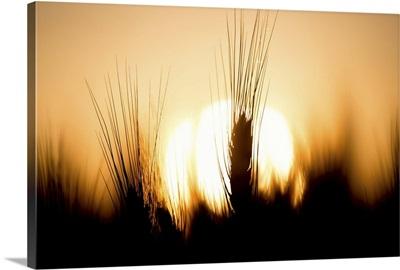 Sunset in the wheat fields in the Palouse region of Washington